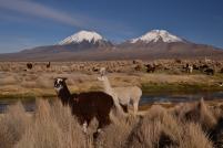 Souht America (NP Sajama Bolivia)